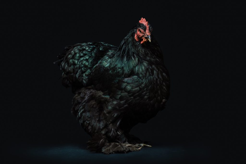 black chicken with black background