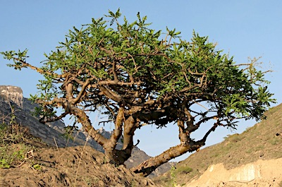 A frankincense tree growing outside