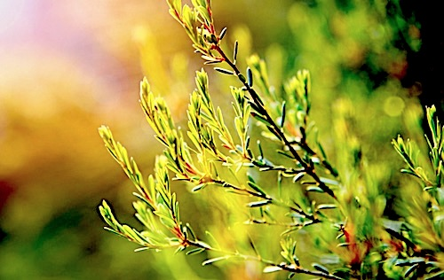 An up close picture of a tea tree plant growing outside